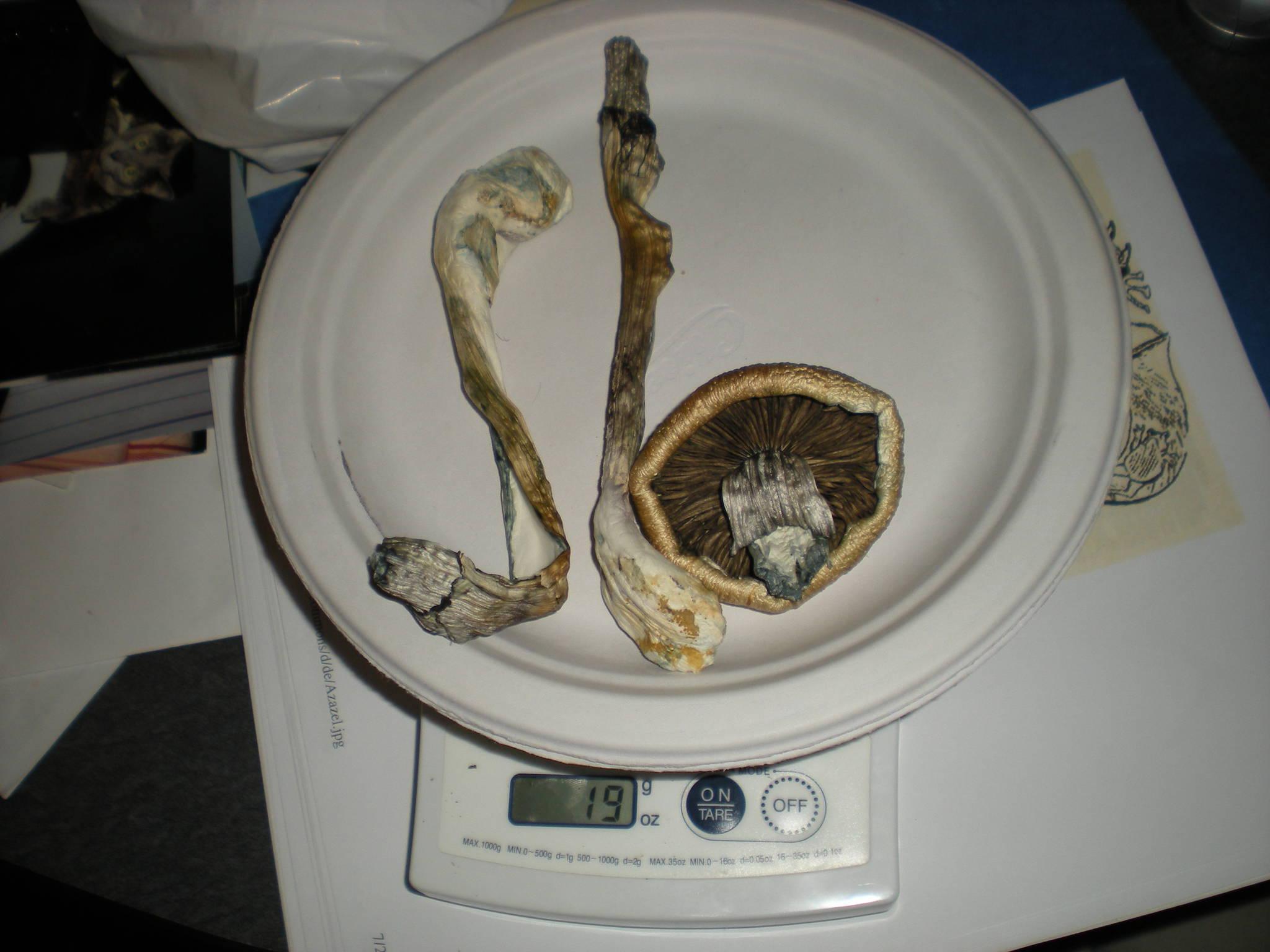 Mushroom Potency -vs- Size  - Mushroom Cultivation - Shroomery