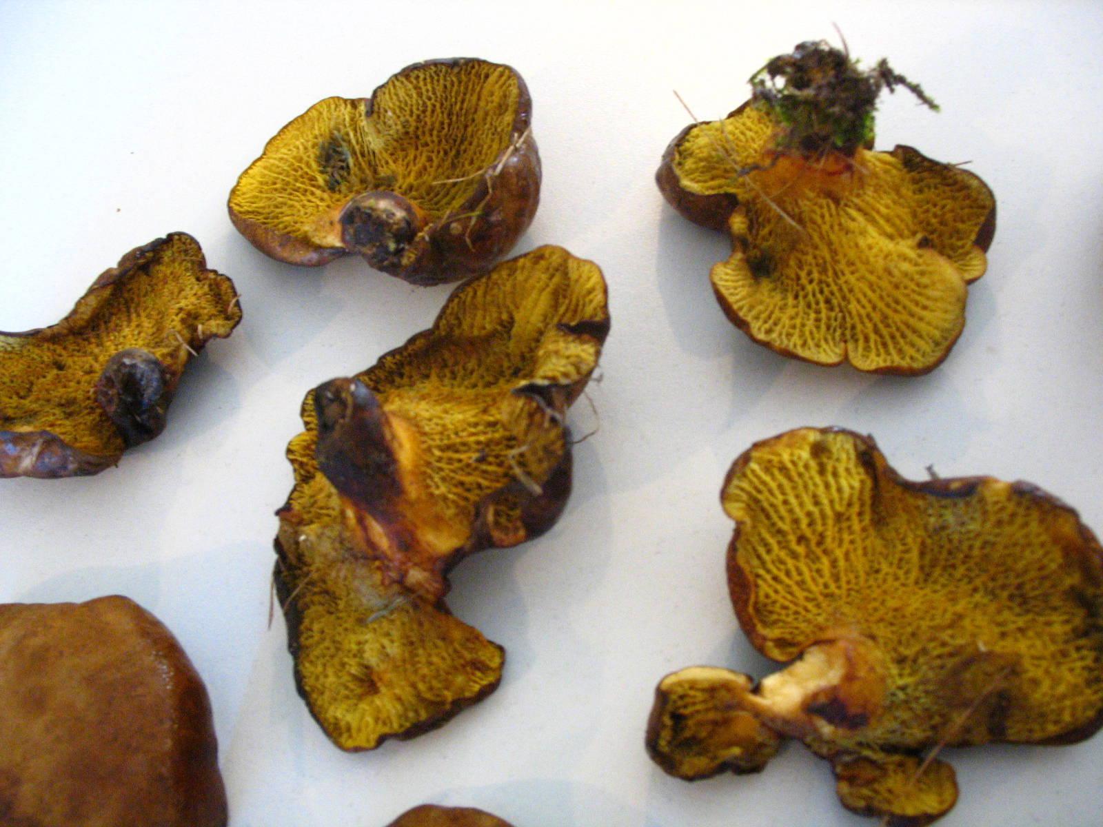 mushrooms in my yard, edible Gyrodon merulioides or ...