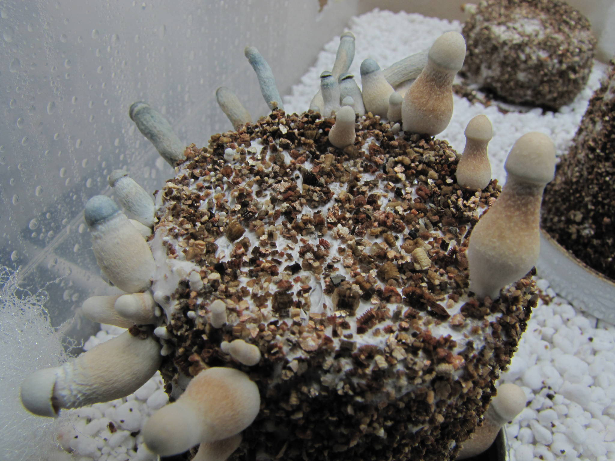 My Yummy Albino A With Sexy Pics Mushroom Cultivation