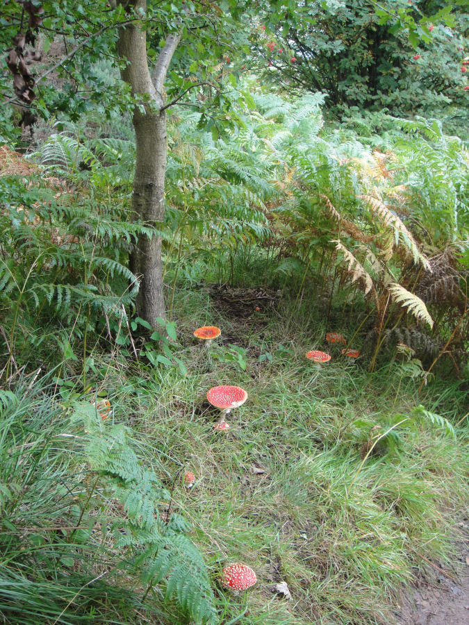 Types Of Mushrooms That Grow Under Oak Trees : Amanita muscaria growing under a young english oak tree mushroom hunting and identification