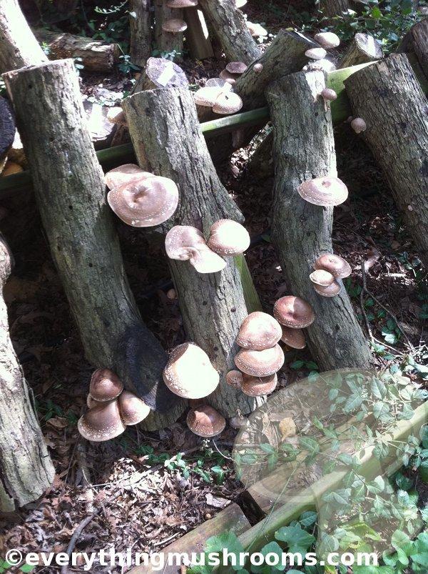 Shiitake Mushroom Logs, tis the season - Pictures