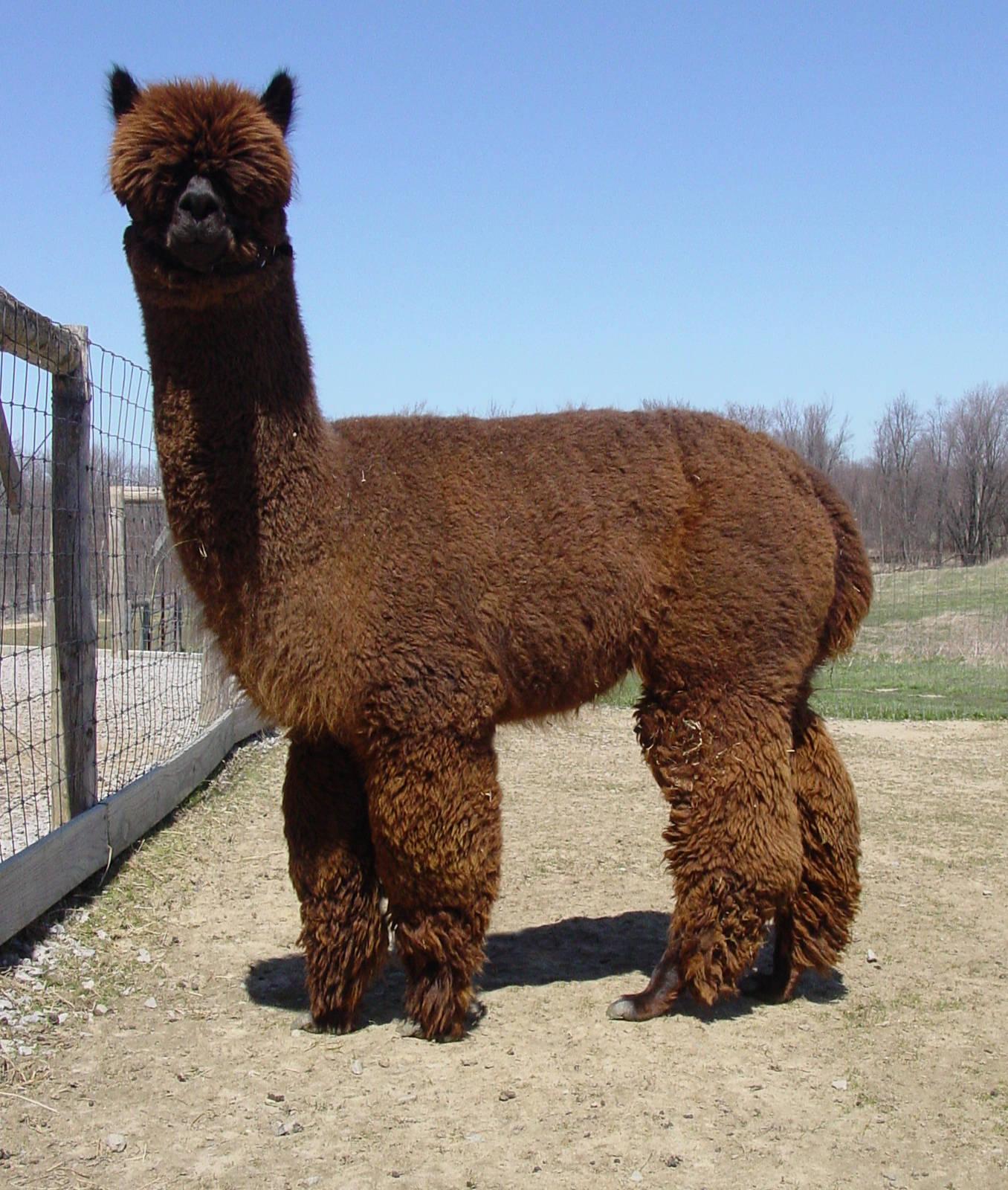 Fat Retarded Llama Rel...
