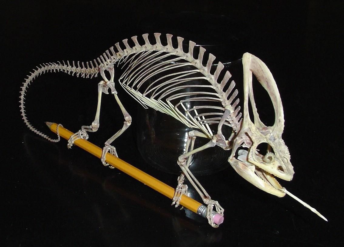 Veiled chameleon skeleton - photo#4