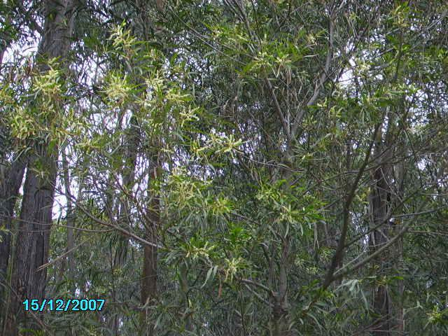 Best Website Ive Ever Found For Identifying Any Species Of Acacia