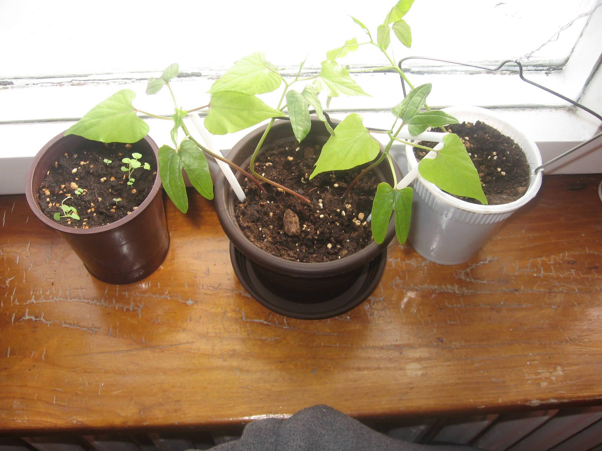 My Window Garden - UPDATE - The Ethnobotanical Garden - Shroomery ...