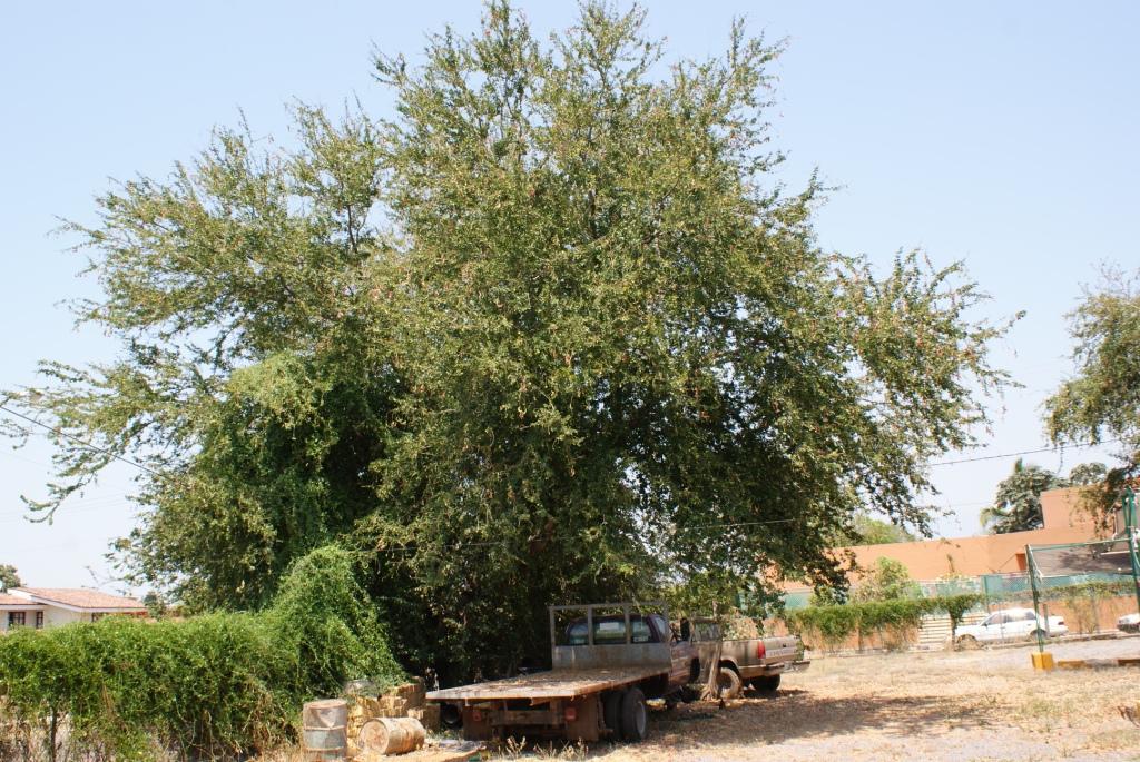 Guamuchiles (Pithecollobium dulce) foraging - Culinary ...  Guamuchiles