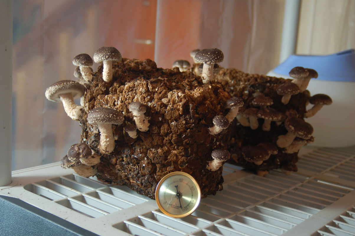 Wood pellet fuel for lions mane and shiitake - Gourmet and