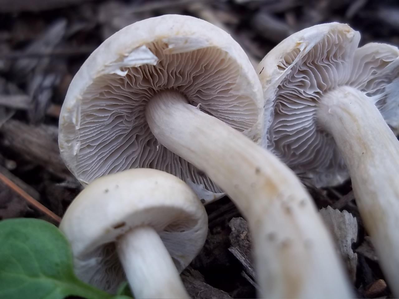 Marasmius Oreades Fairy Ring Mushroom Mushroom