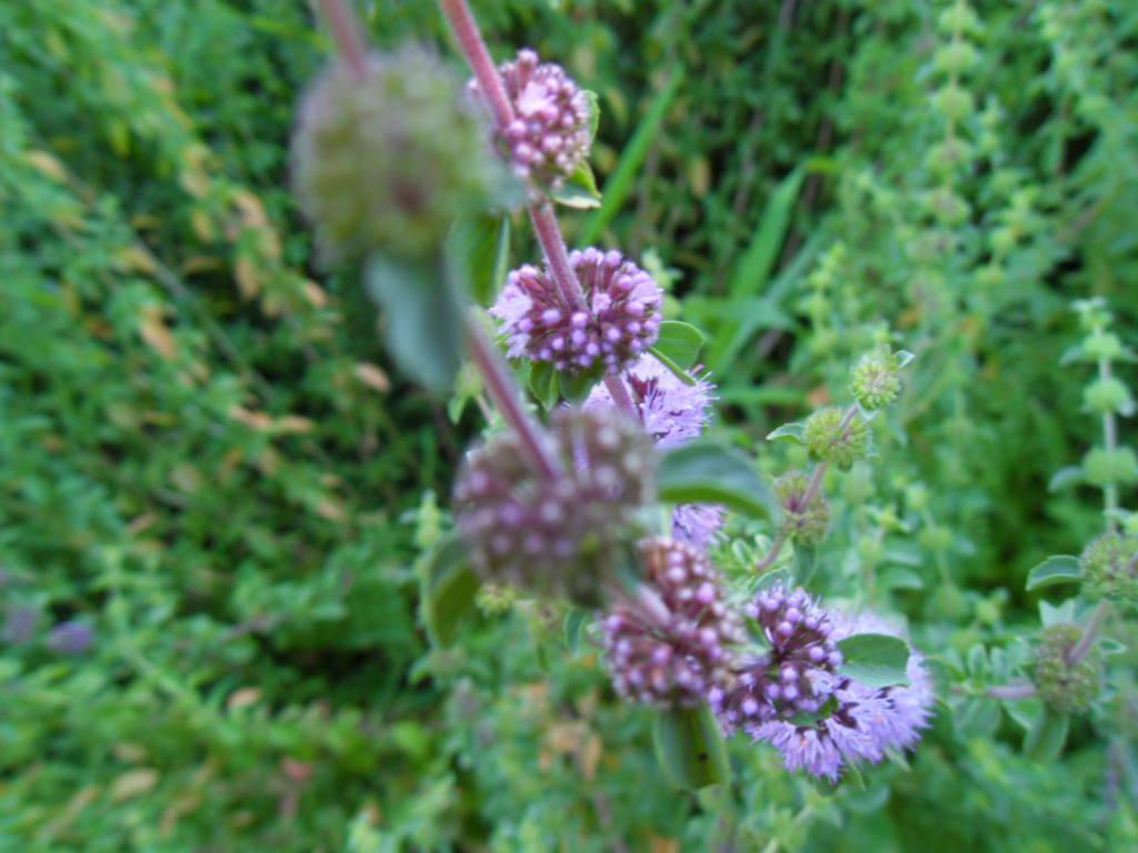 Pennyroyal Flowers - The Ethnobotanical Garden