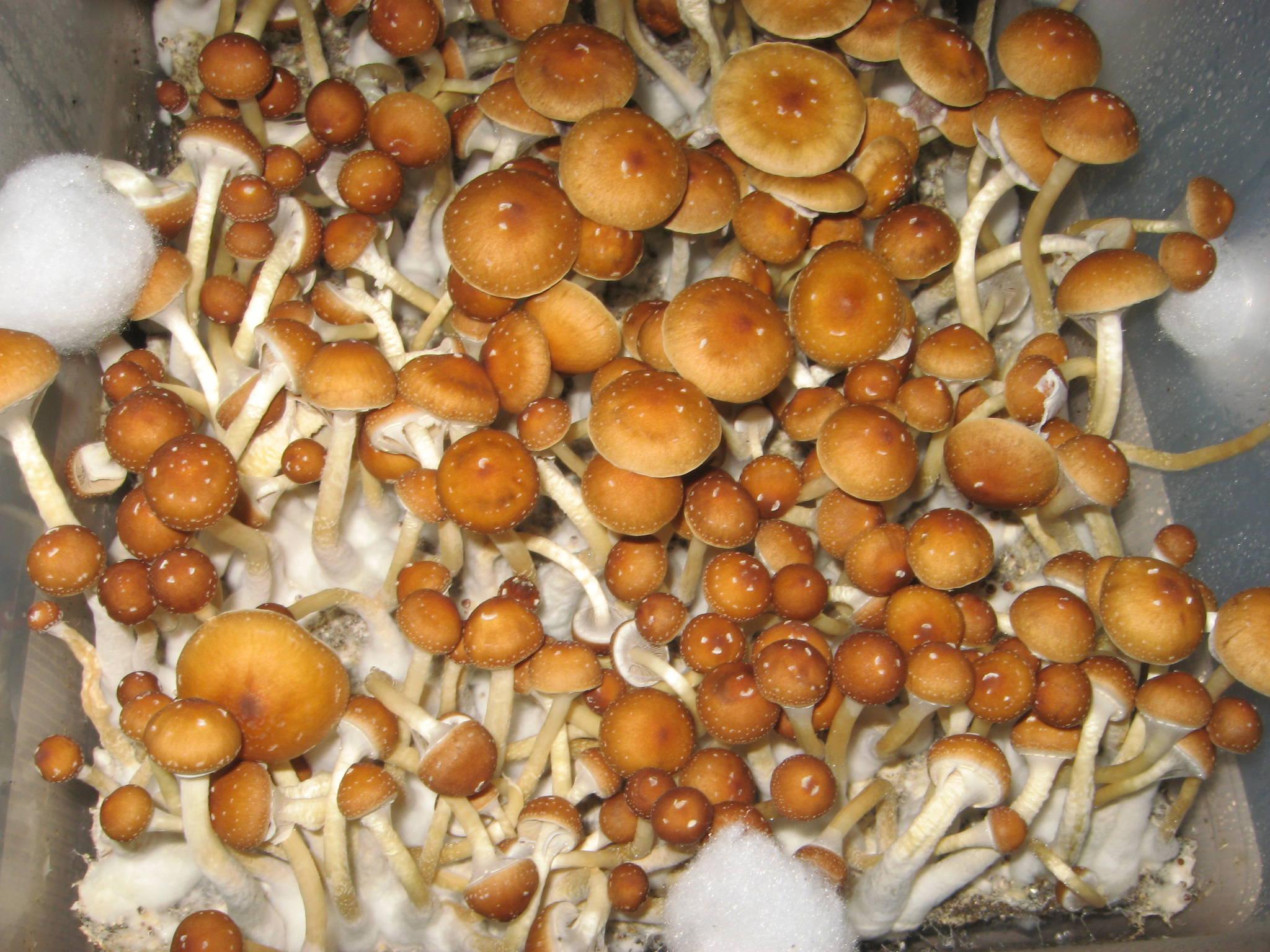 Bulk Grow 2 0 - 4 Golden Teacher Monotubs - Mushroom Cultivation