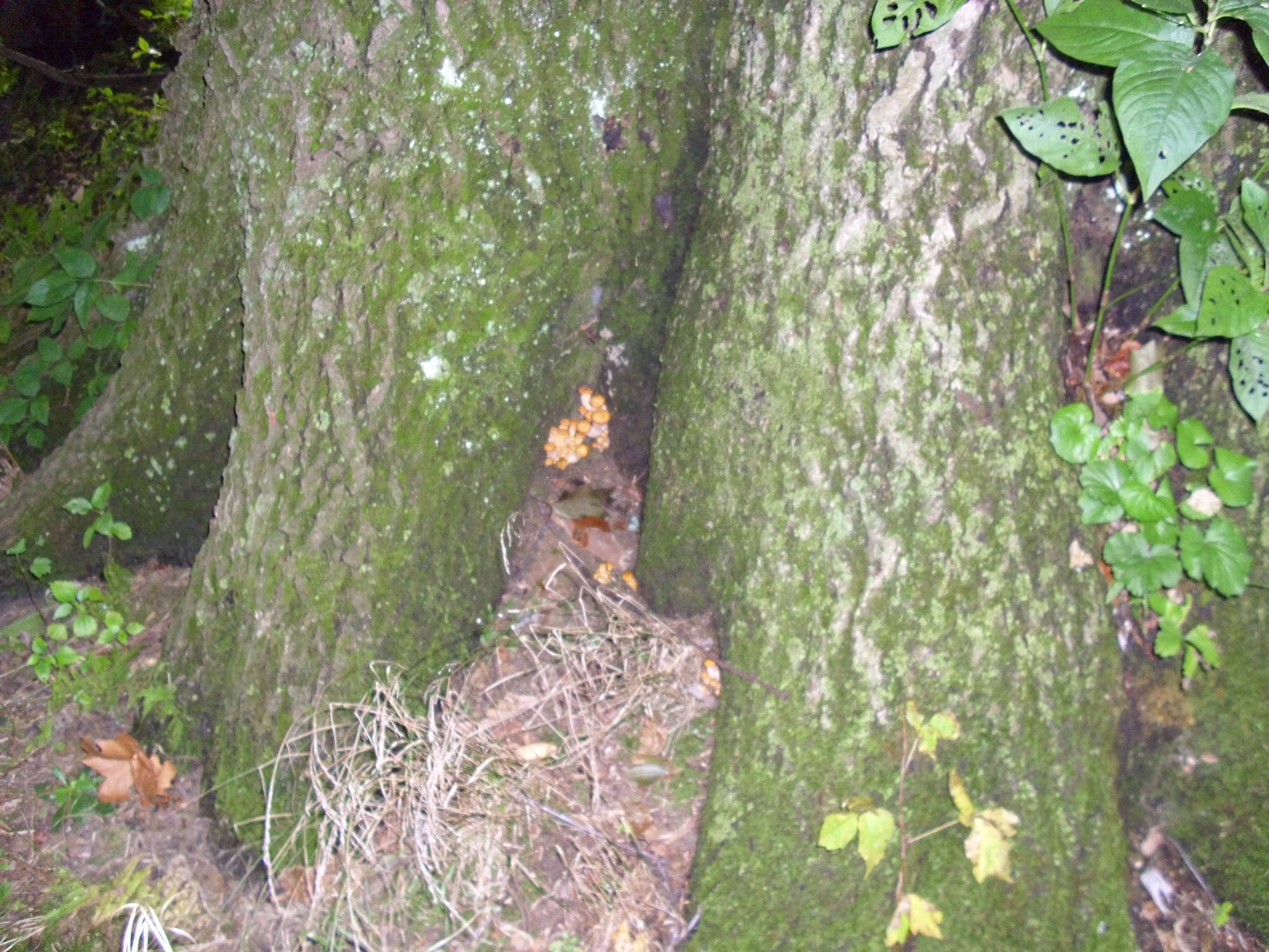 Types Of Mushrooms That Grow Under Oak Trees : Gyms and aminitas some dung in pa mushroom hunting identification shroomery