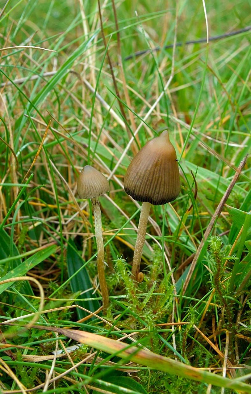 magic mushroom identification for - photo #5