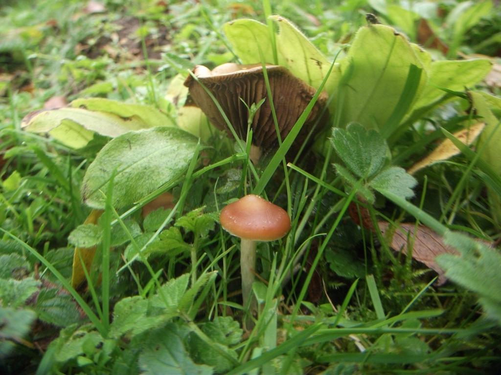 magic mushroom identification for - photo #19