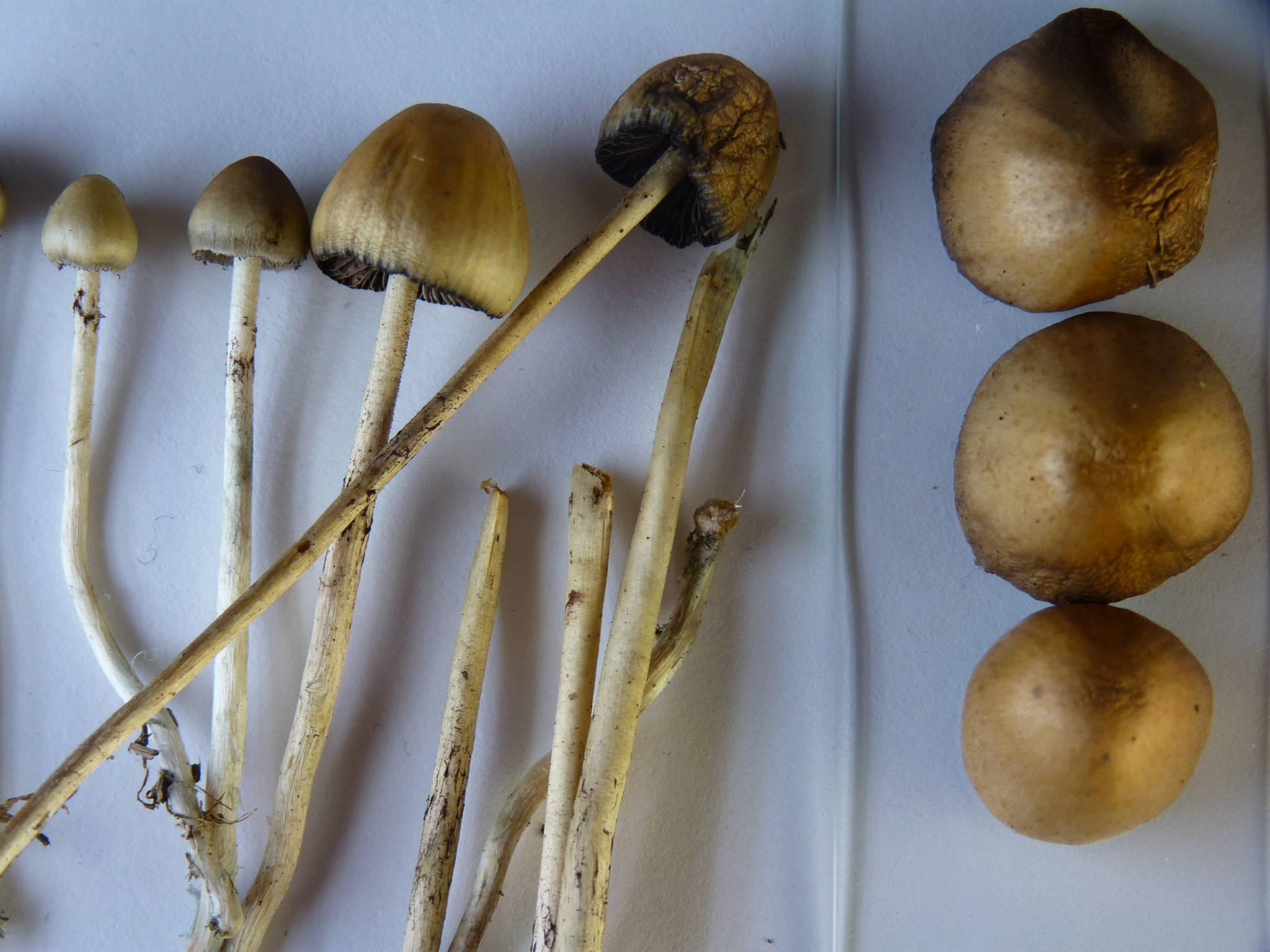 купить споры грибов псилоцибы