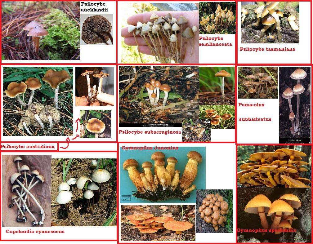 Nsw Magic Mushroom Hunting Id Chart Mushroom Hunting And