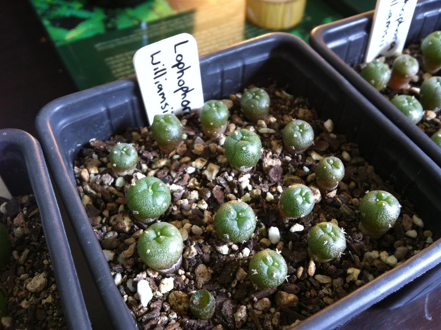 Lophophora Growers Unite! - The Ethnobotanical Garden