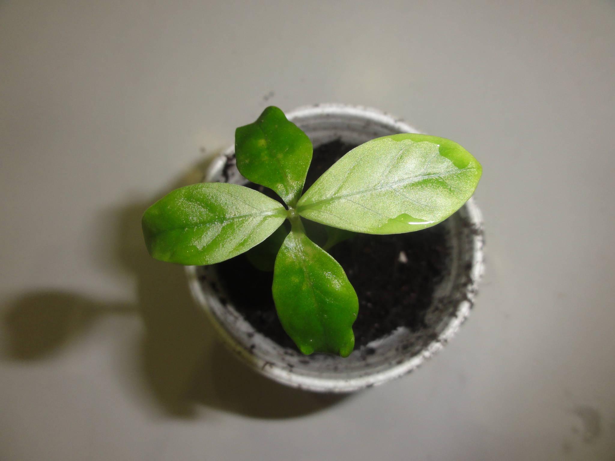 Psychotria Alba vs Viridis Psychotria Viridis to Show
