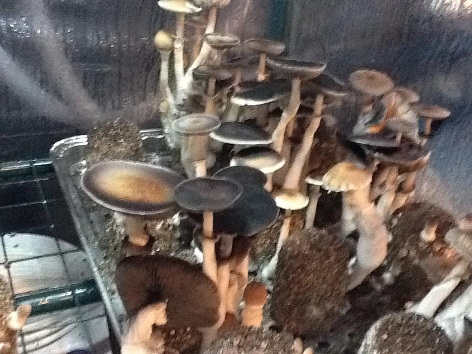 Martha tek advice? Cakes no good? - Mushroom Cultivation