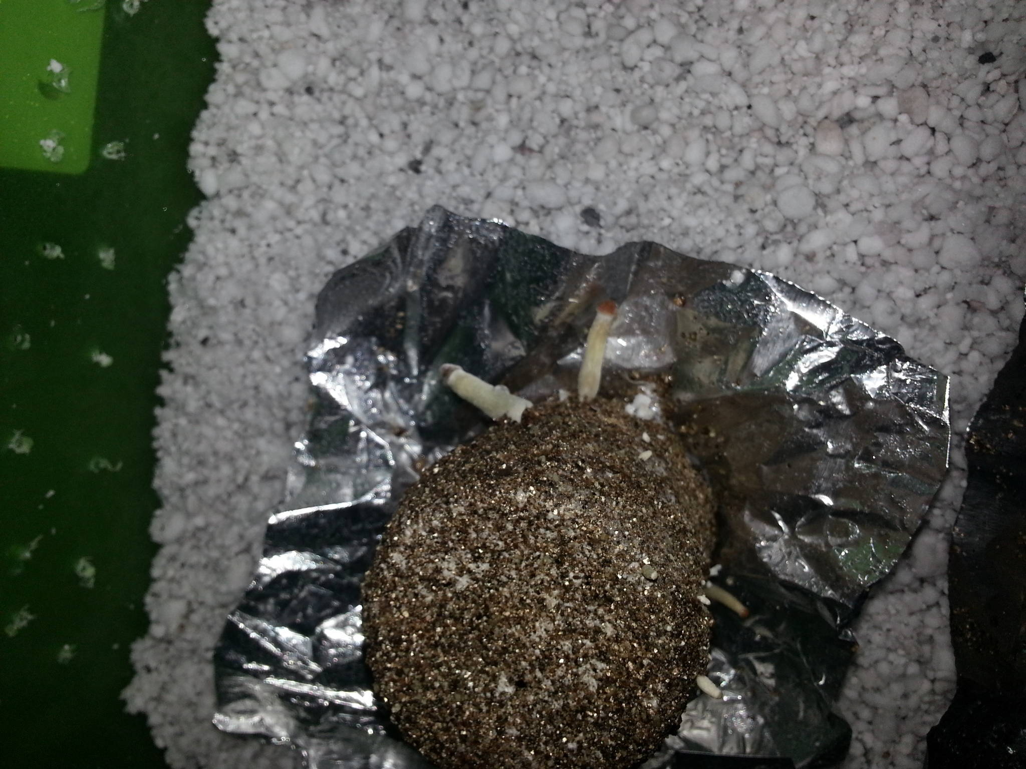 Slow Growth / Few Shrooms ***PICS*** Mushroom Cultivation  #38601E