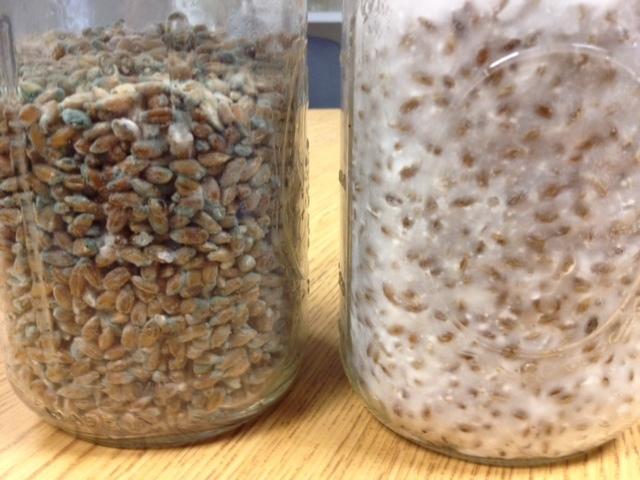 Cobweb Mold In Brf Jars