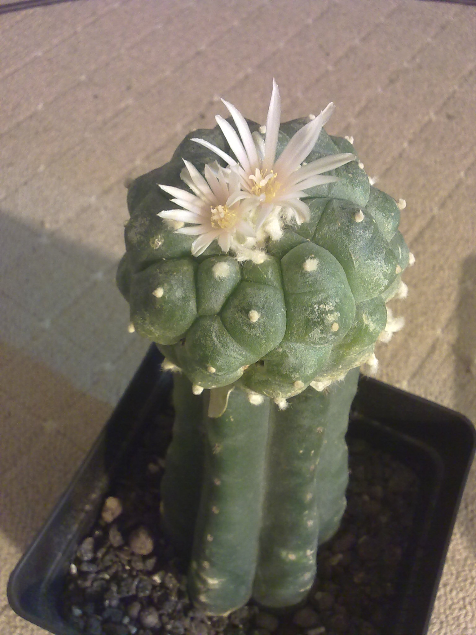 My Guide To Help Lophophora Growers At Humid Cold Climate