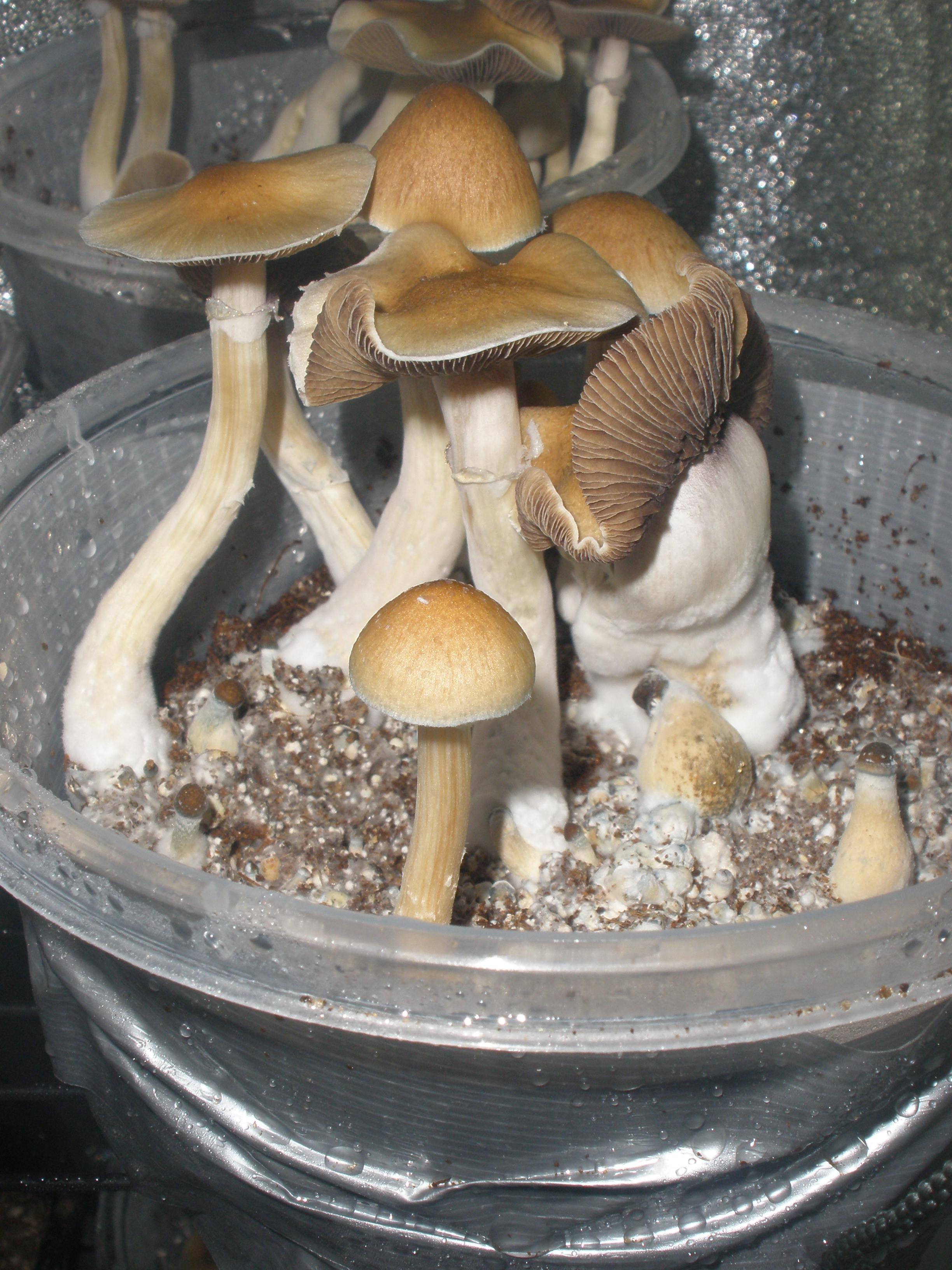 How annoying     Bad genetics/mutants - Mushroom Cultivation