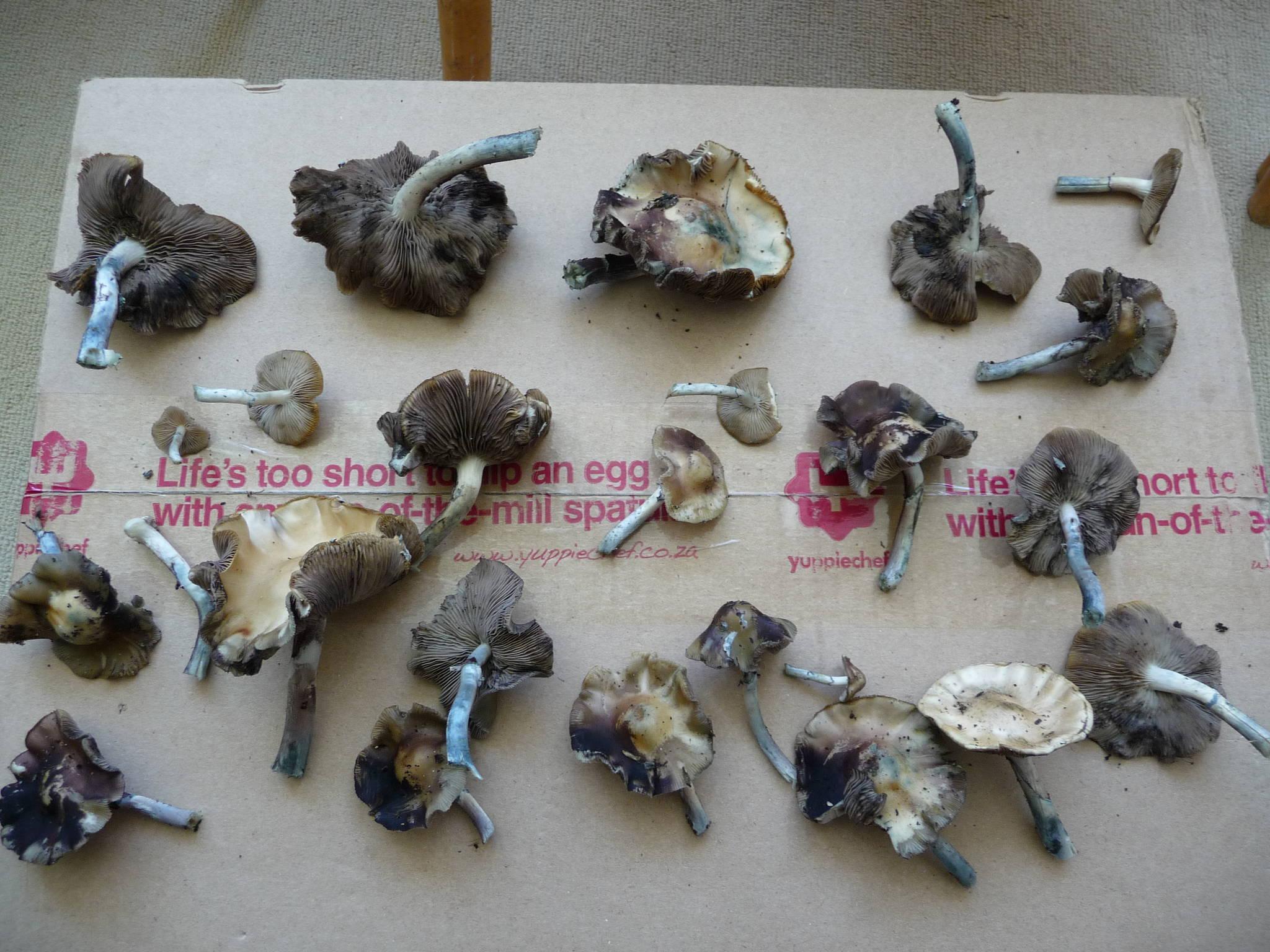 psilocybin mushrooms online