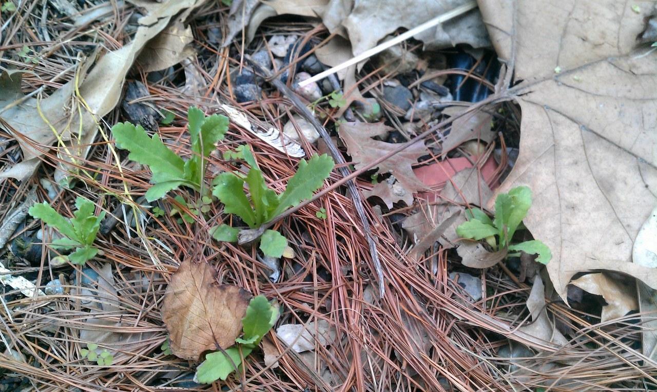 papaver somniferum seedlings - photo #40