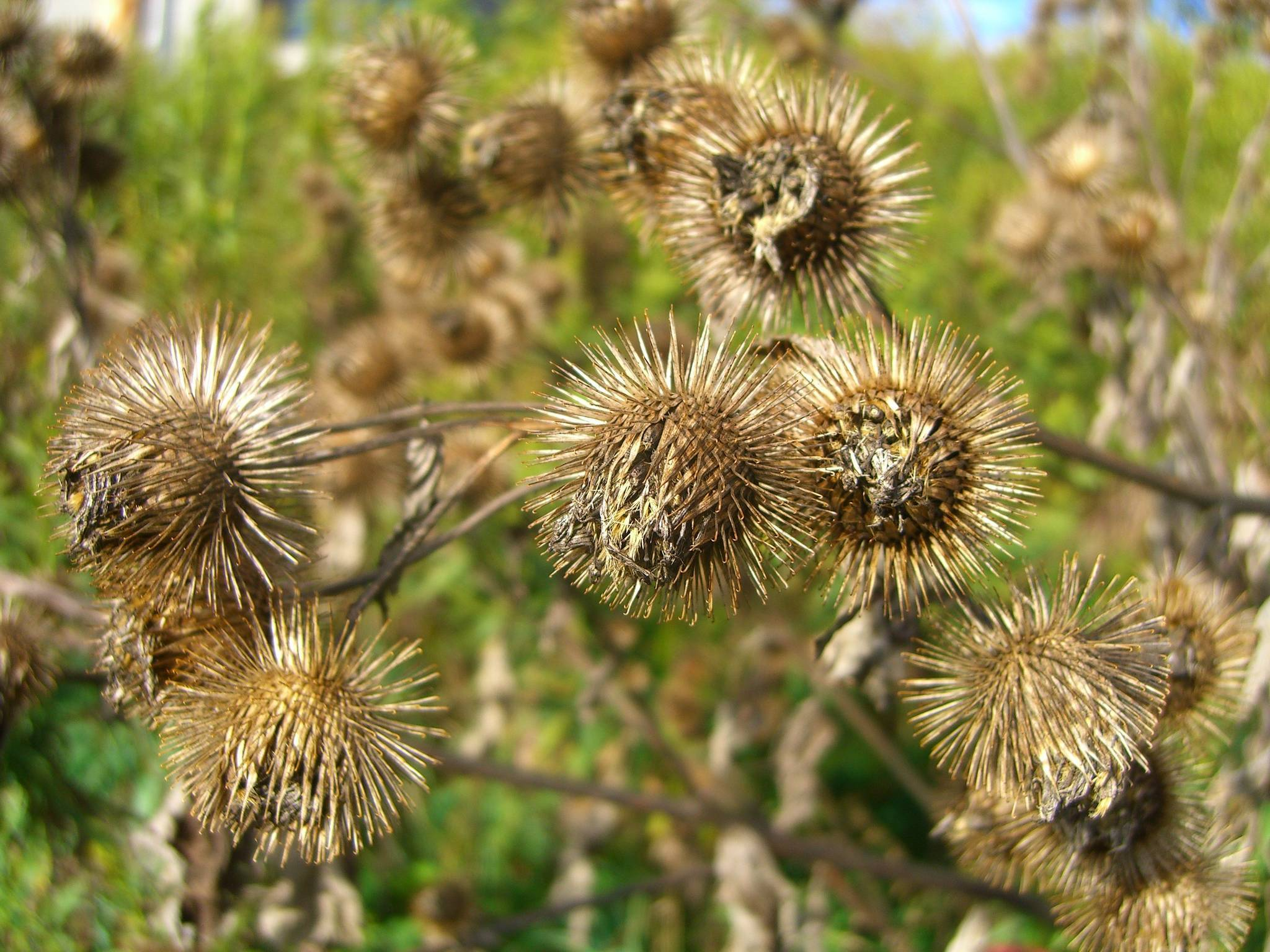 The plant that many hate and  Burdock Plant Identification
