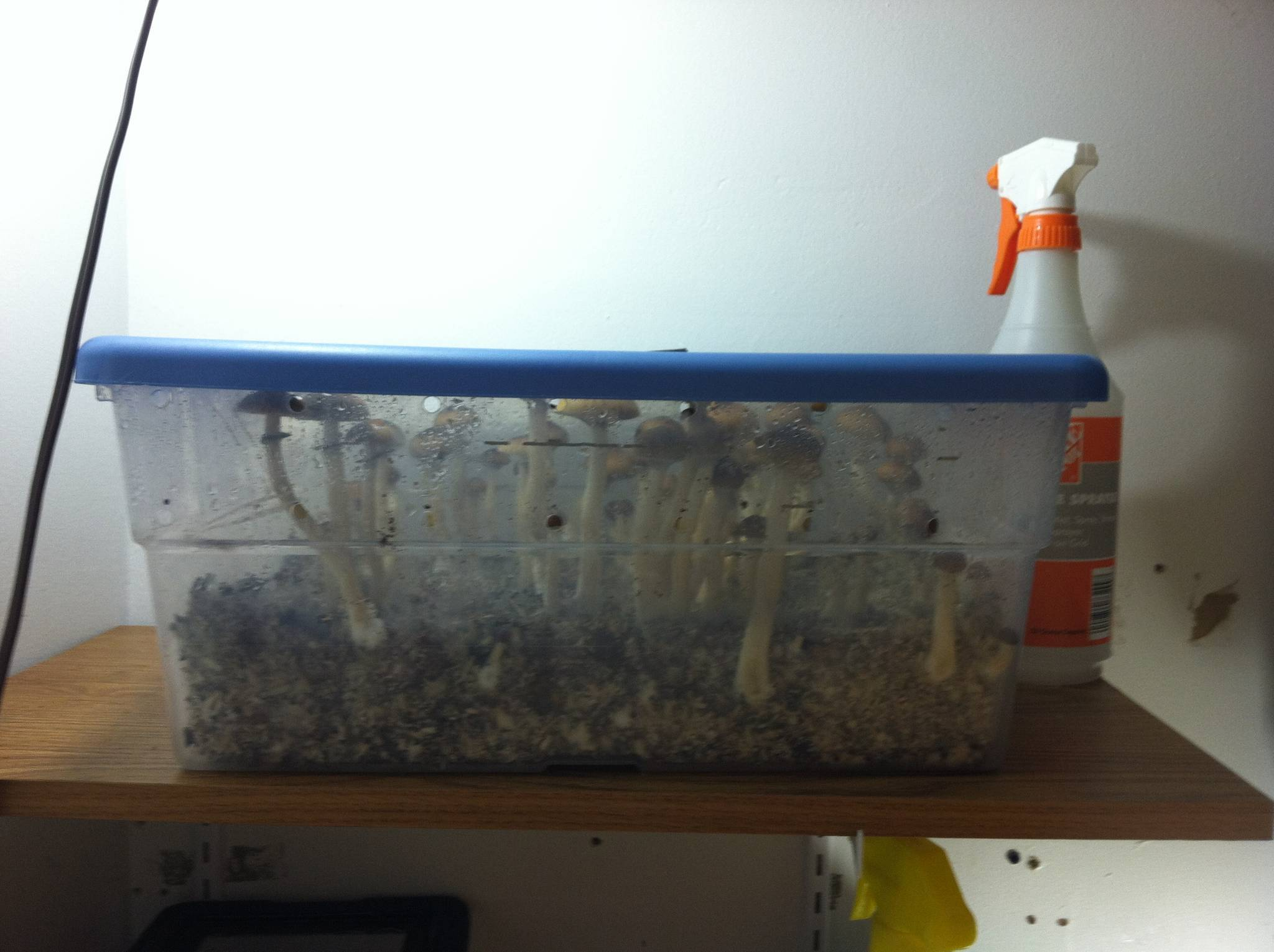 Mini Monotub Shoebox Bulk Bricks In Sgfc Mushroom