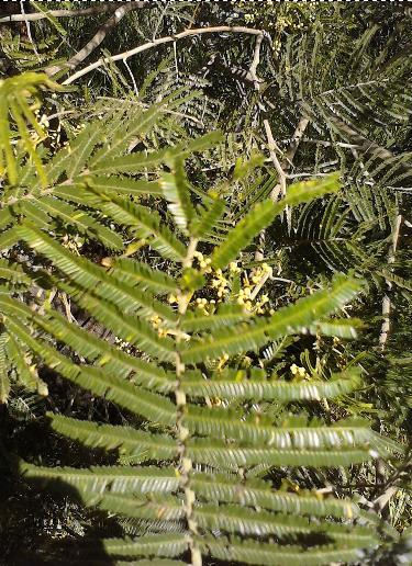 Is this an active mimosa? (DMT) - The Ethnobotanical Garden