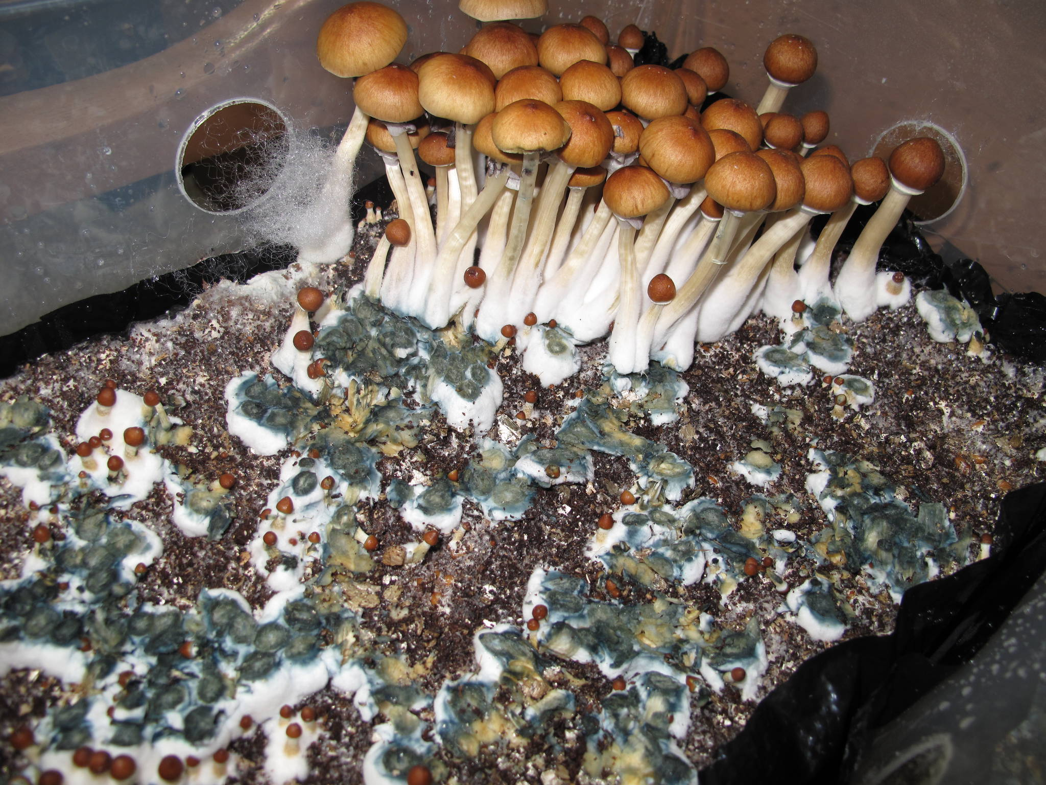 Cased grains vs Bulk Substrates: V-Tek meets Bulk - Mushroom