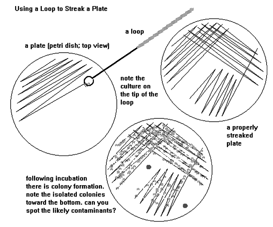 streak plate You can make streak plates of bacteria or yeasts a streak plate involves the progressive dilution of an inoculum of bacteria or yeast over the surface of solidified agar medium in a petri dish the result is that some of the colonies on the plate grow well separated from each other the aim of the procedure is.