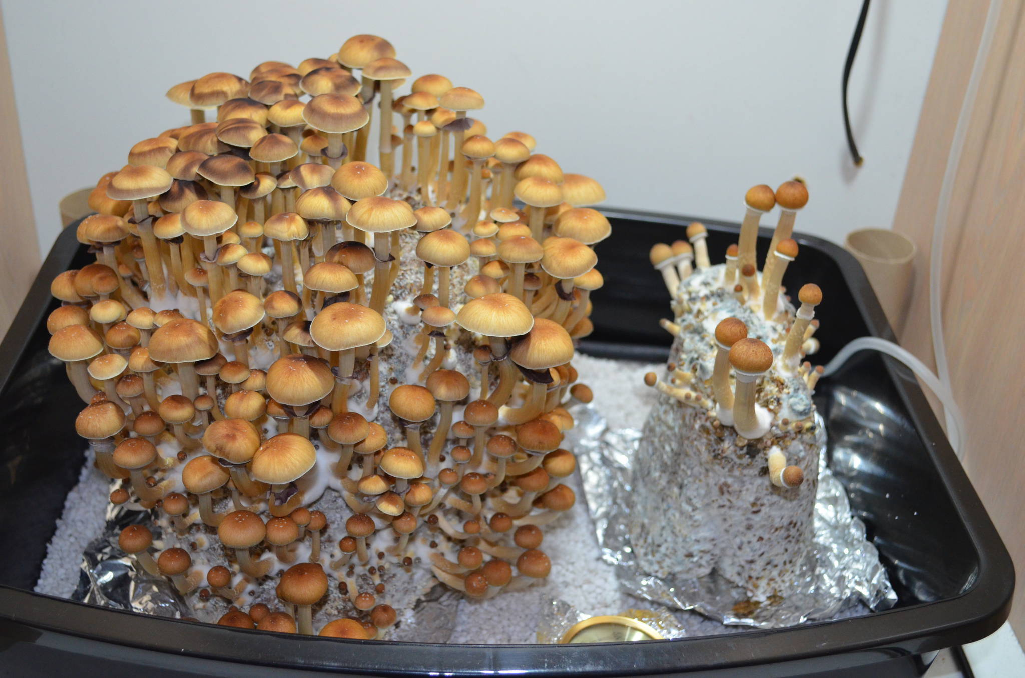 Magic Mushroom Cakes Fruiting Upside Down