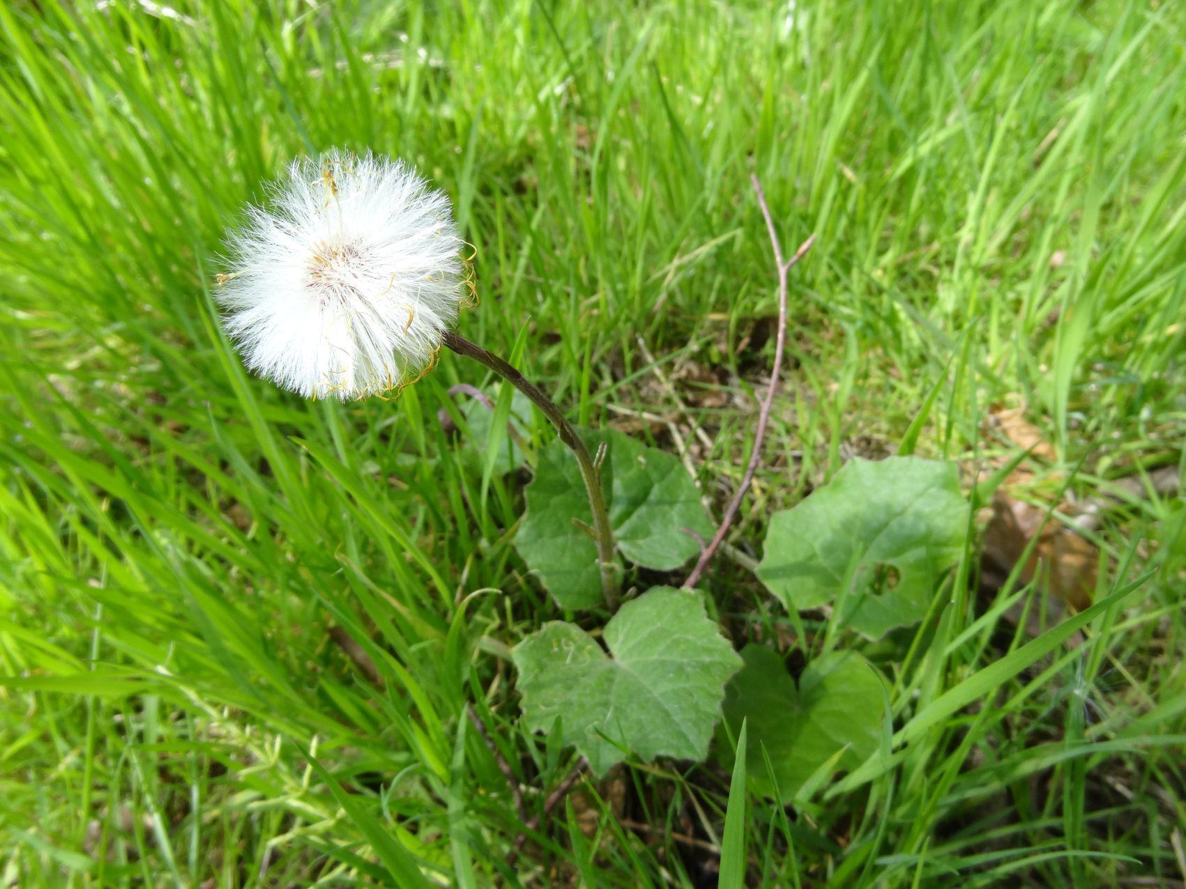 Tirella cordifolia--Saxifragaceae bet-at-home.com startet kampagne zur fußball-em | glücksspiel