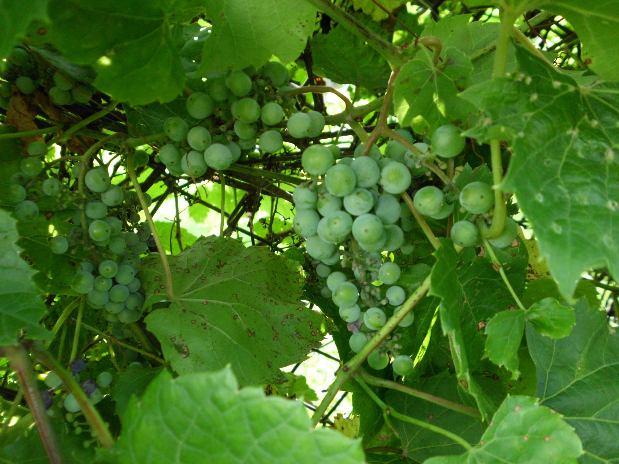 so i have grapes growing in my backyard the ethnobotanical