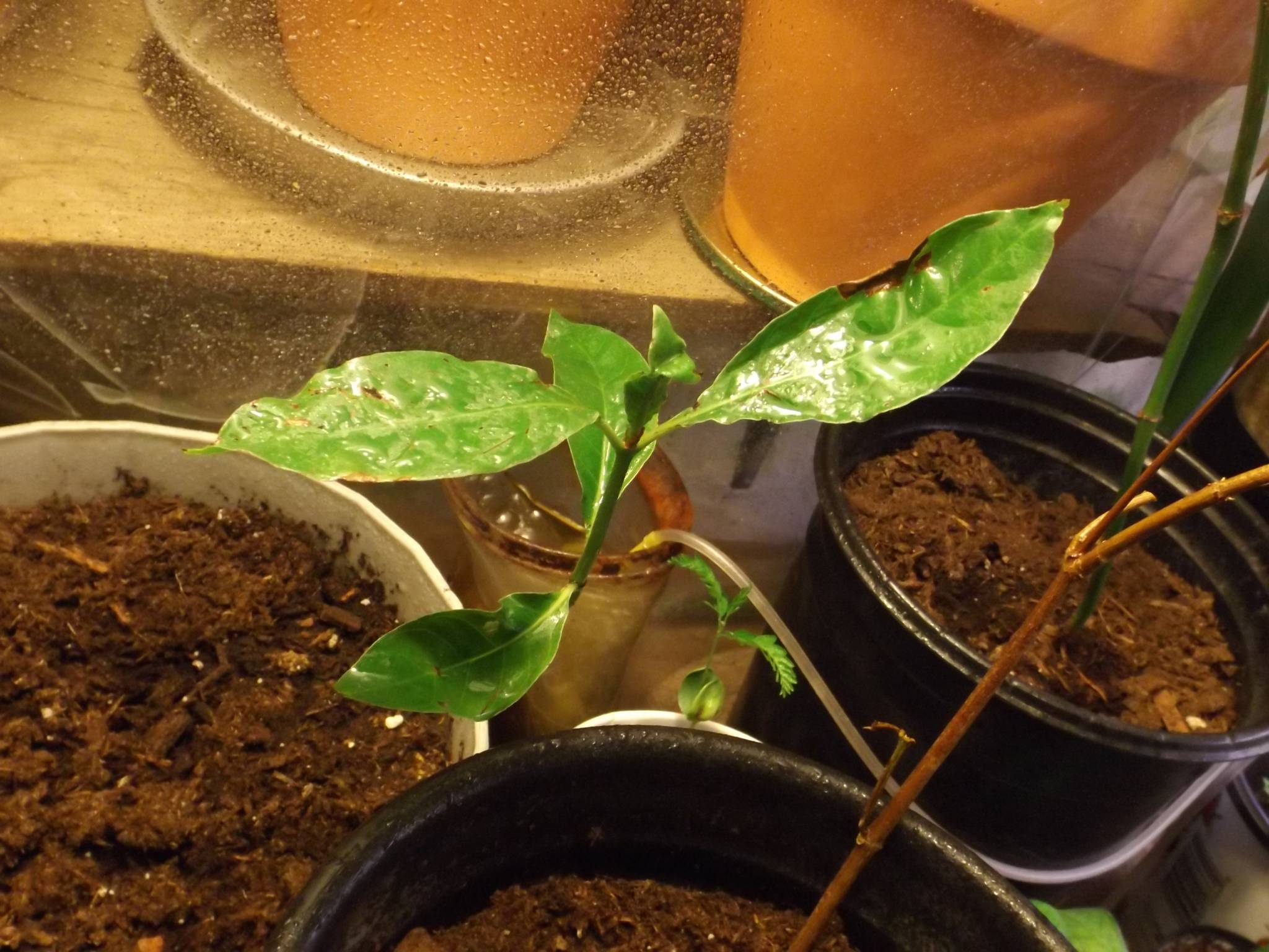 Psychotria Alba Extraction my New Psychotria Albas
