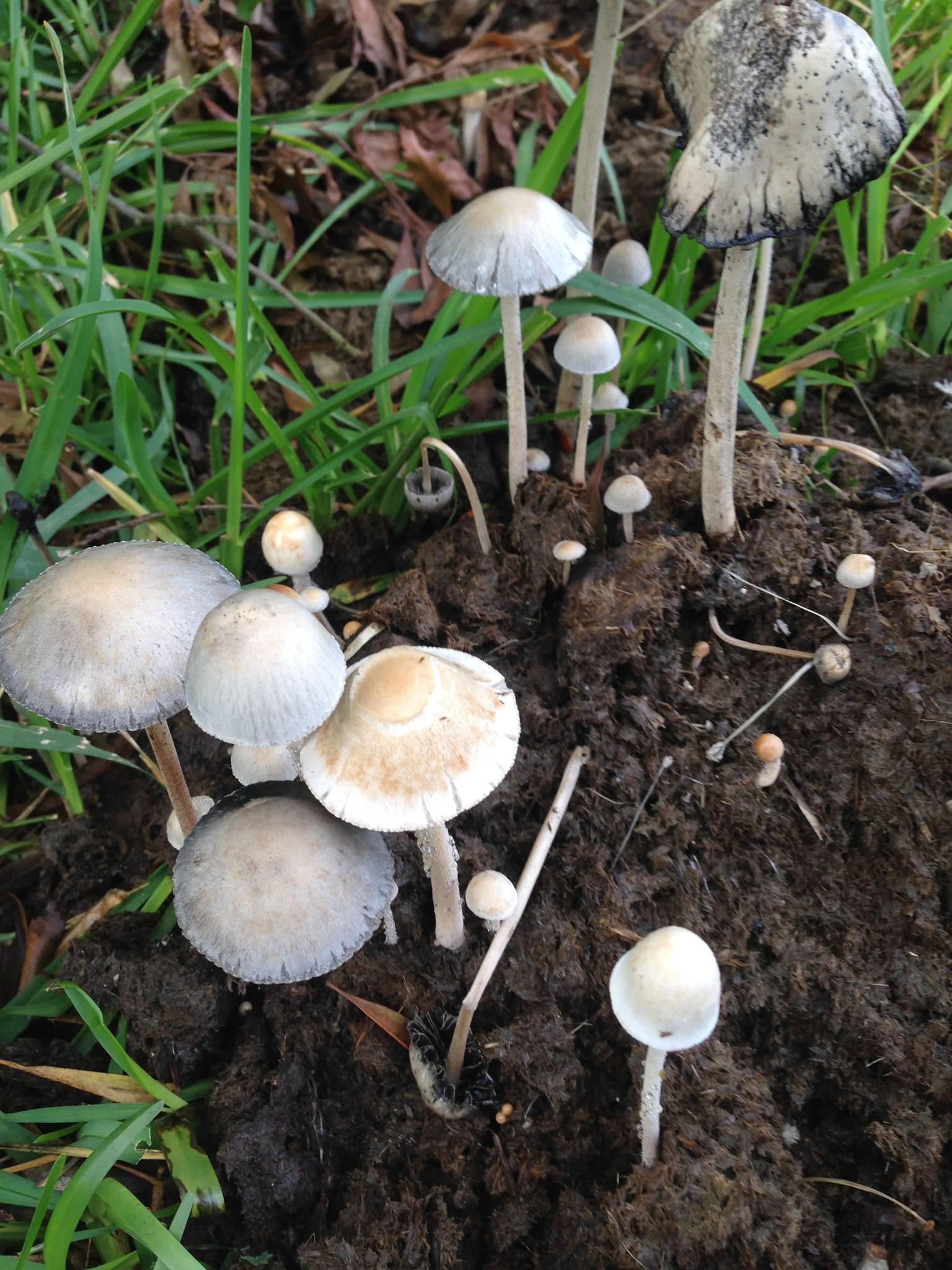 how to identify mushrooms to genus pdf