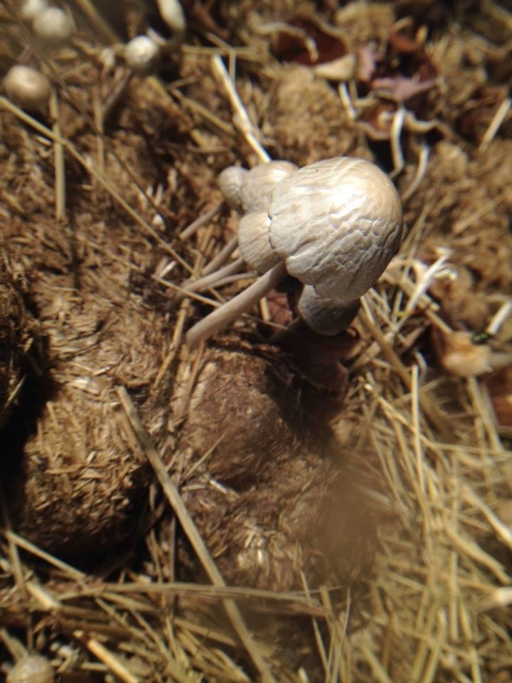 Need help to ID mushrooms found on horse manure - Mushroom ...