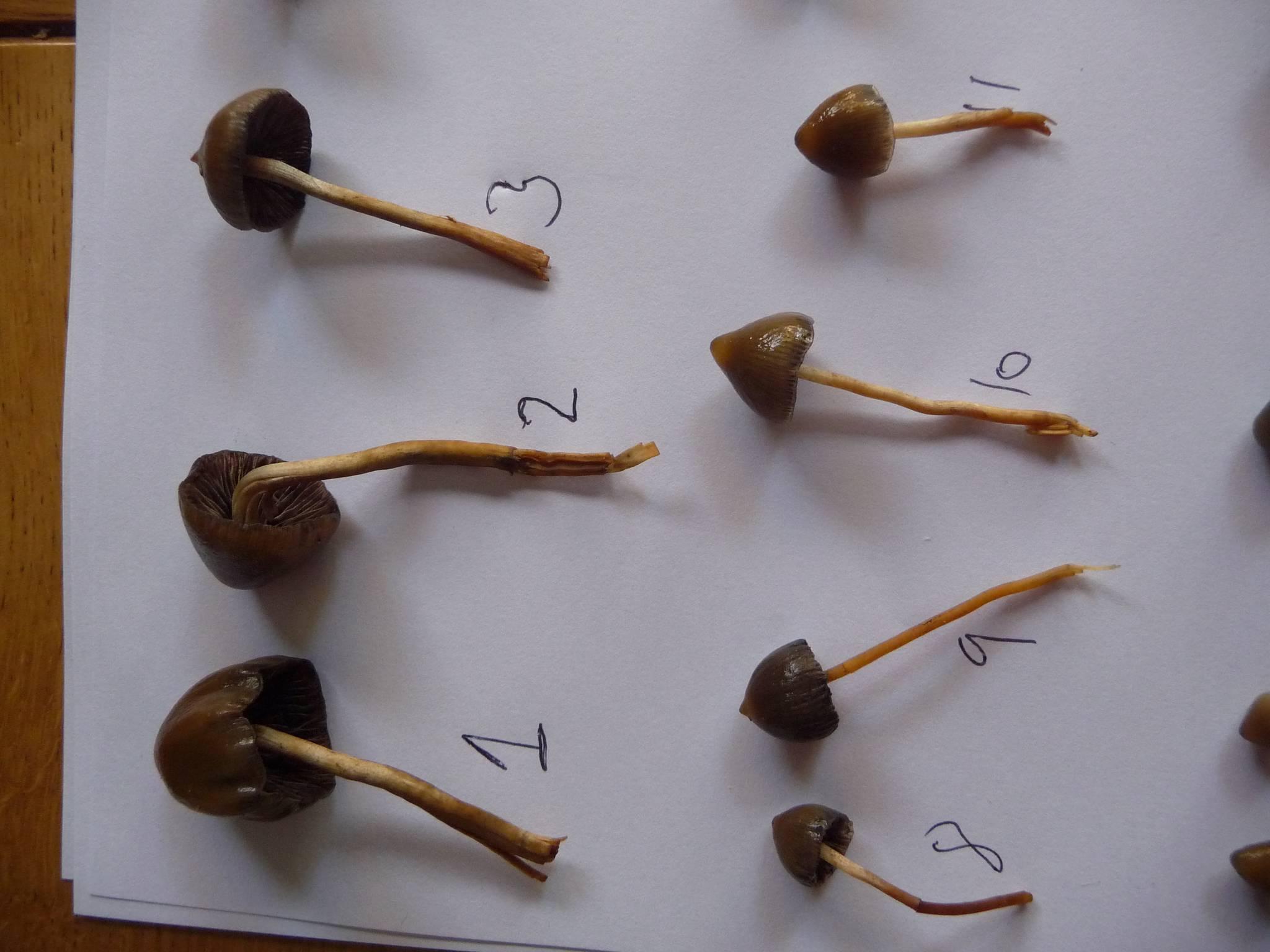 Liberty Cap Id Mushroom Hunting And Identification