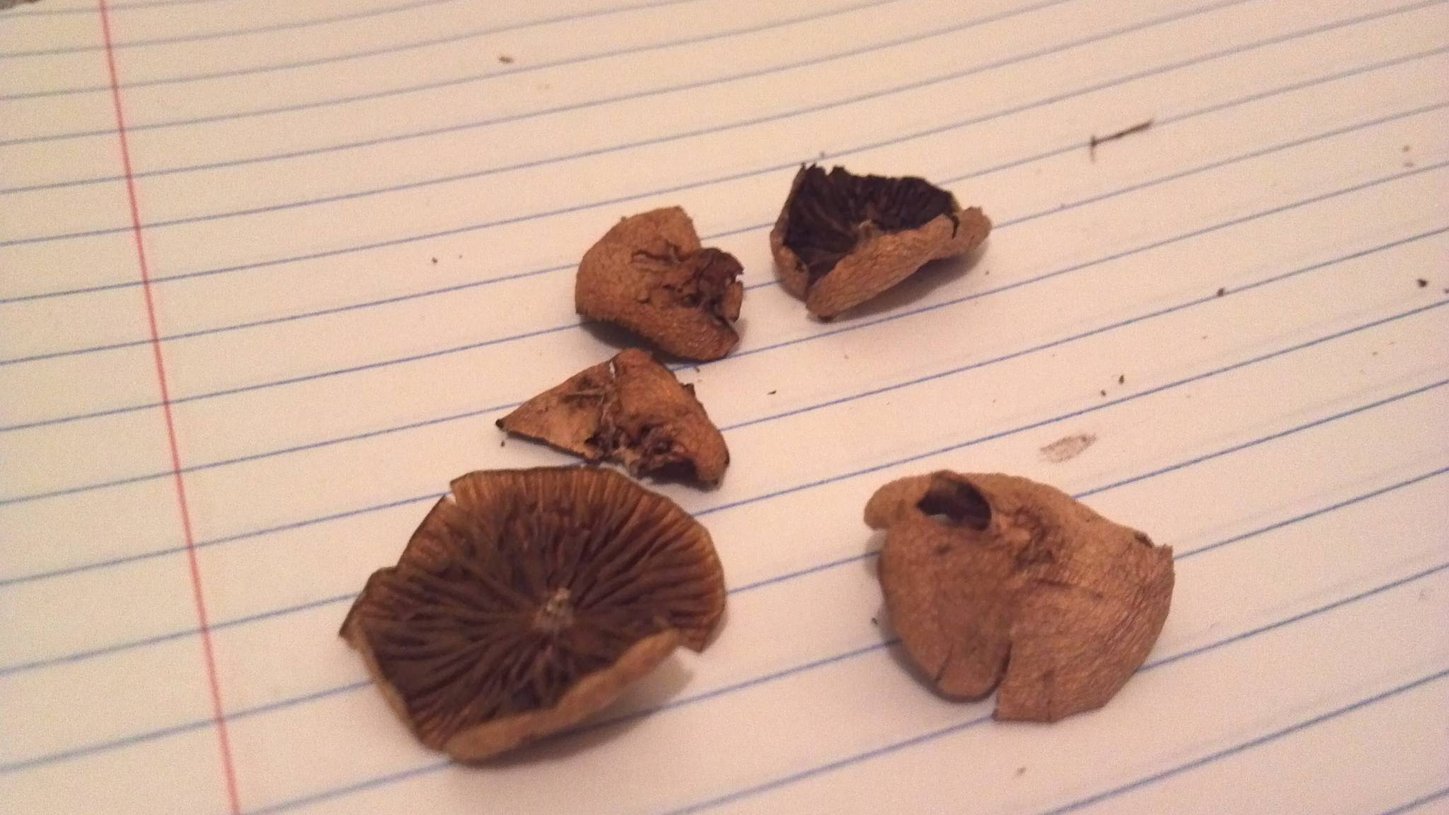 Best way to ID psilocybe cyanescens when they're dry