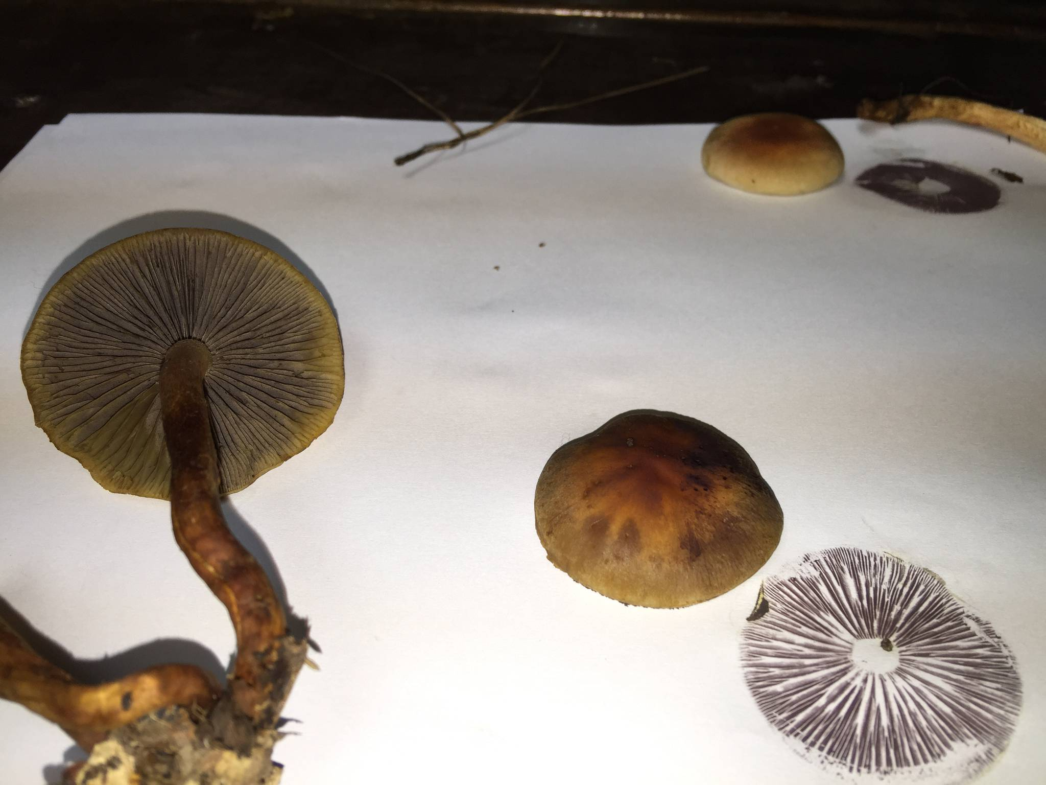 Gyms? - black/purple spore print - Mushroom Hunting and ...