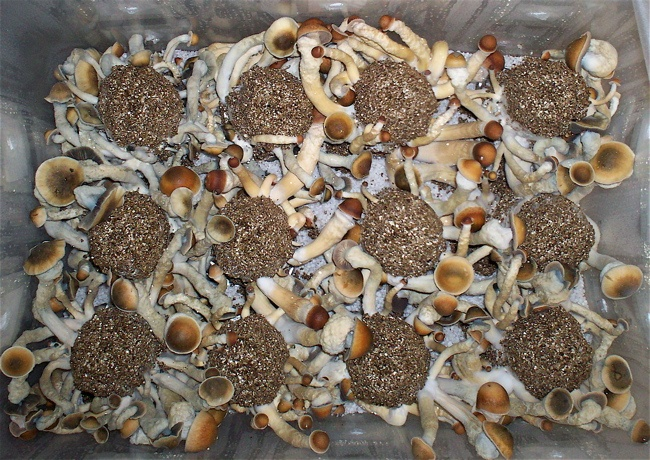 Penis Envy on BRF Cakes - Mushroom Cultivation - Shroomery ...