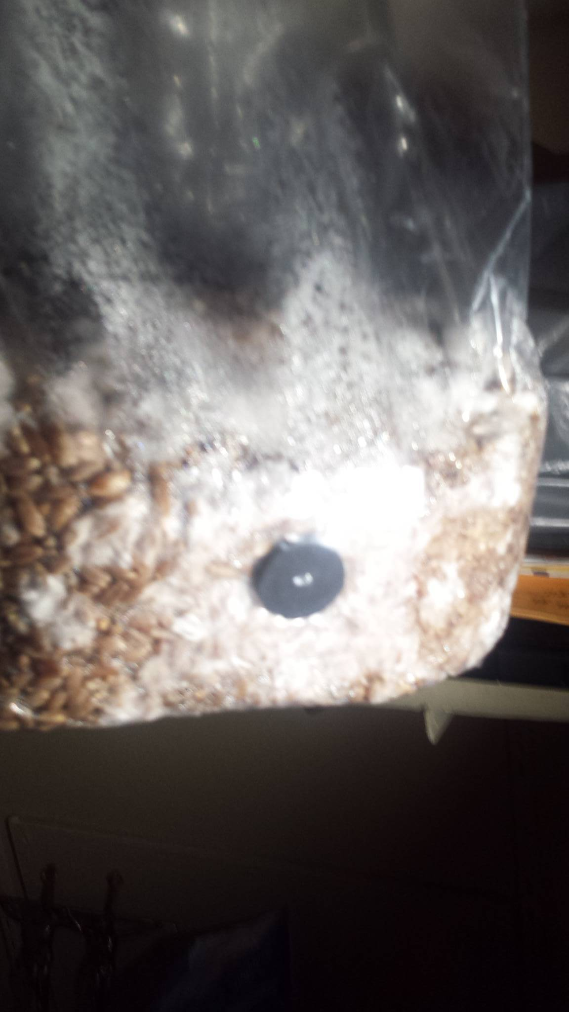 Look Up A Number >> How do my rye berry bags look? Near colonization? [PICS ...