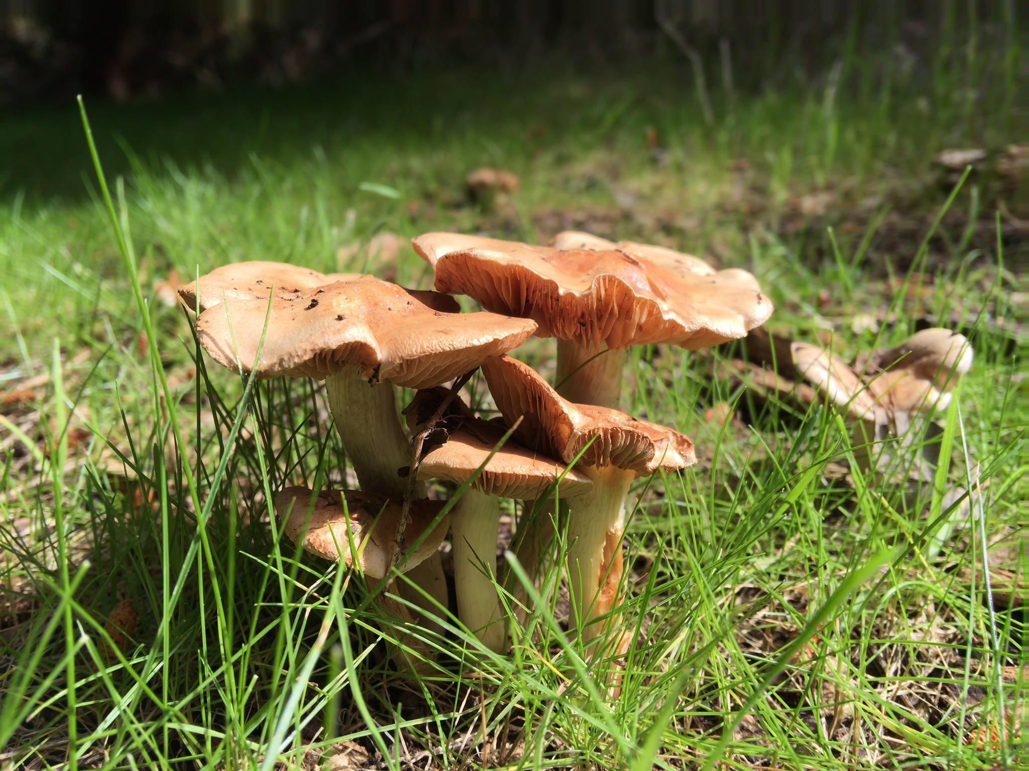 OFFICIAL* Mushrooms of BALINGUP, Western Australia - Psilocybe