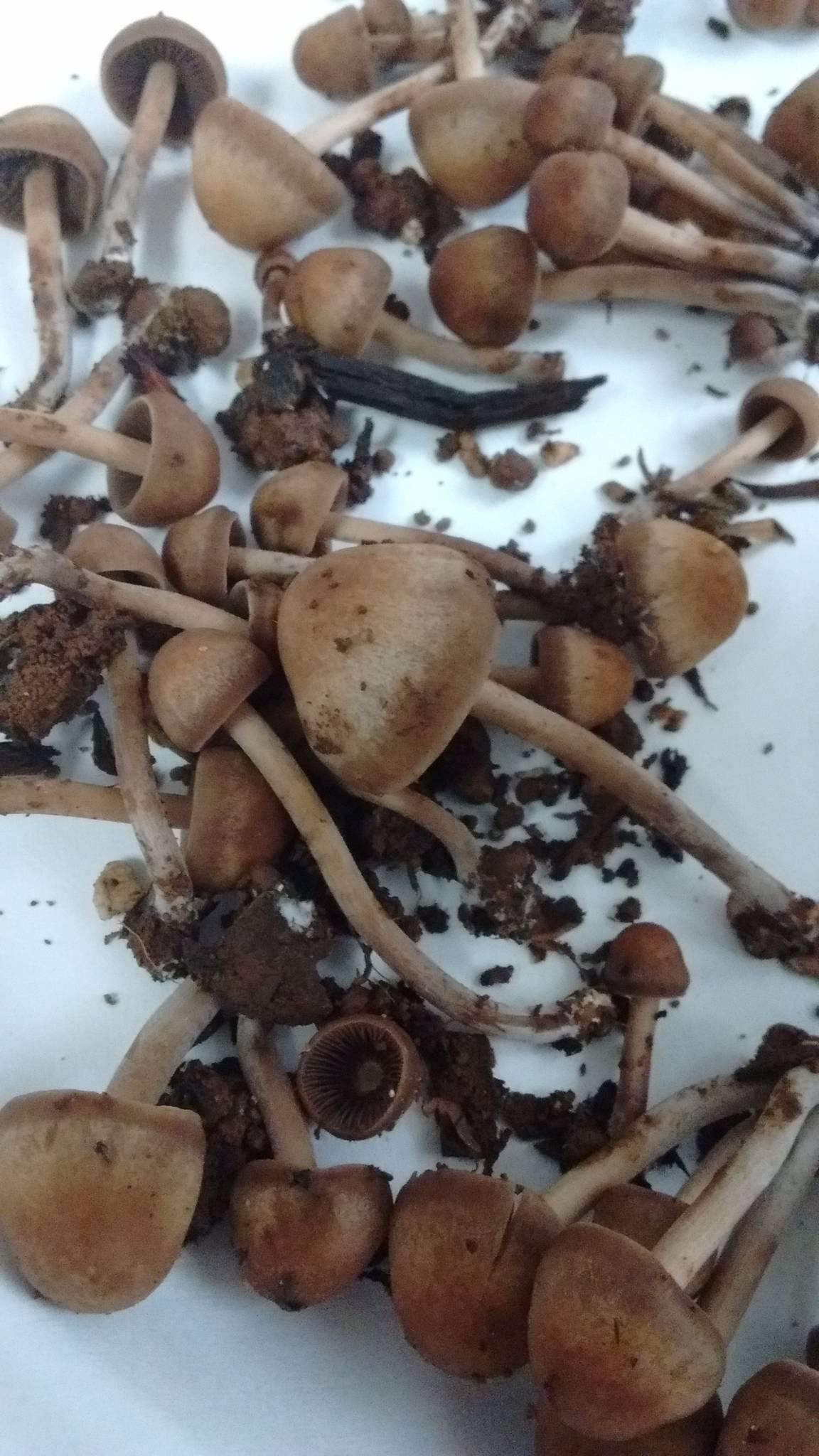 need help identify!! - Mushroom Hunting and Identification