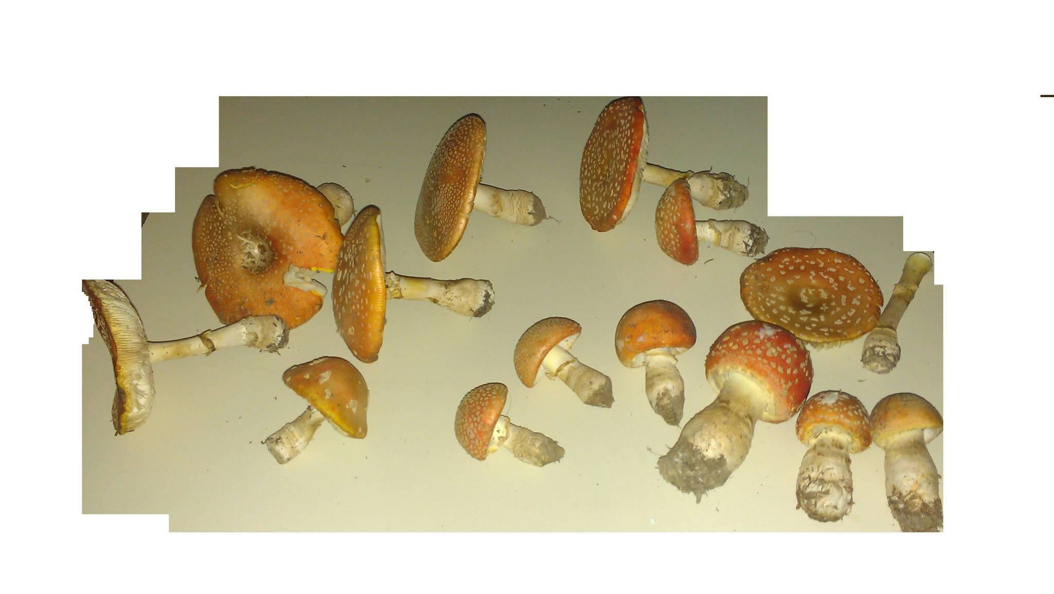 Amanita Id request [Dec 10] - Mushroom Hunting and