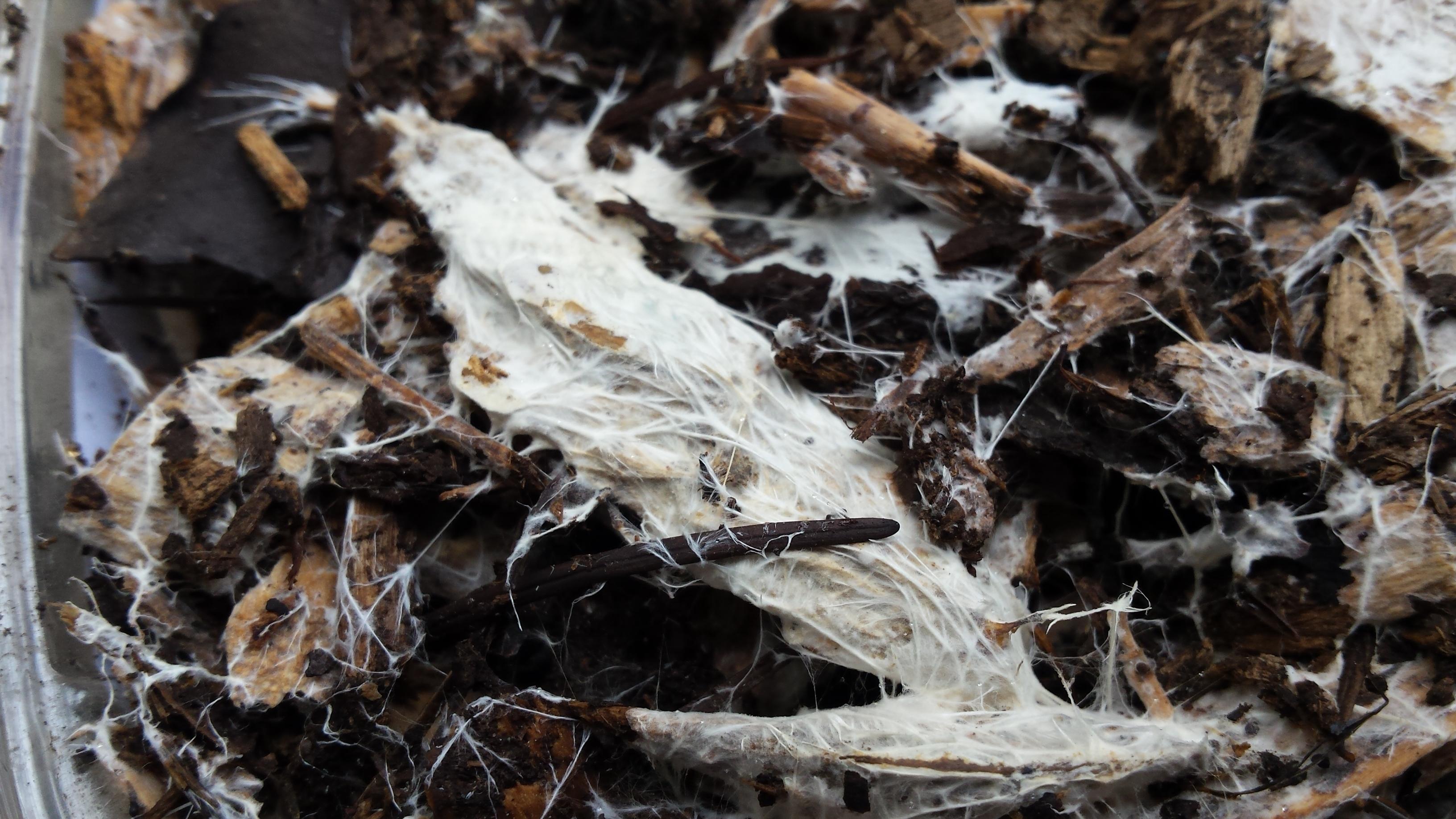 Psilocybe Cyanescens Mycelium Cultivation Mushroom