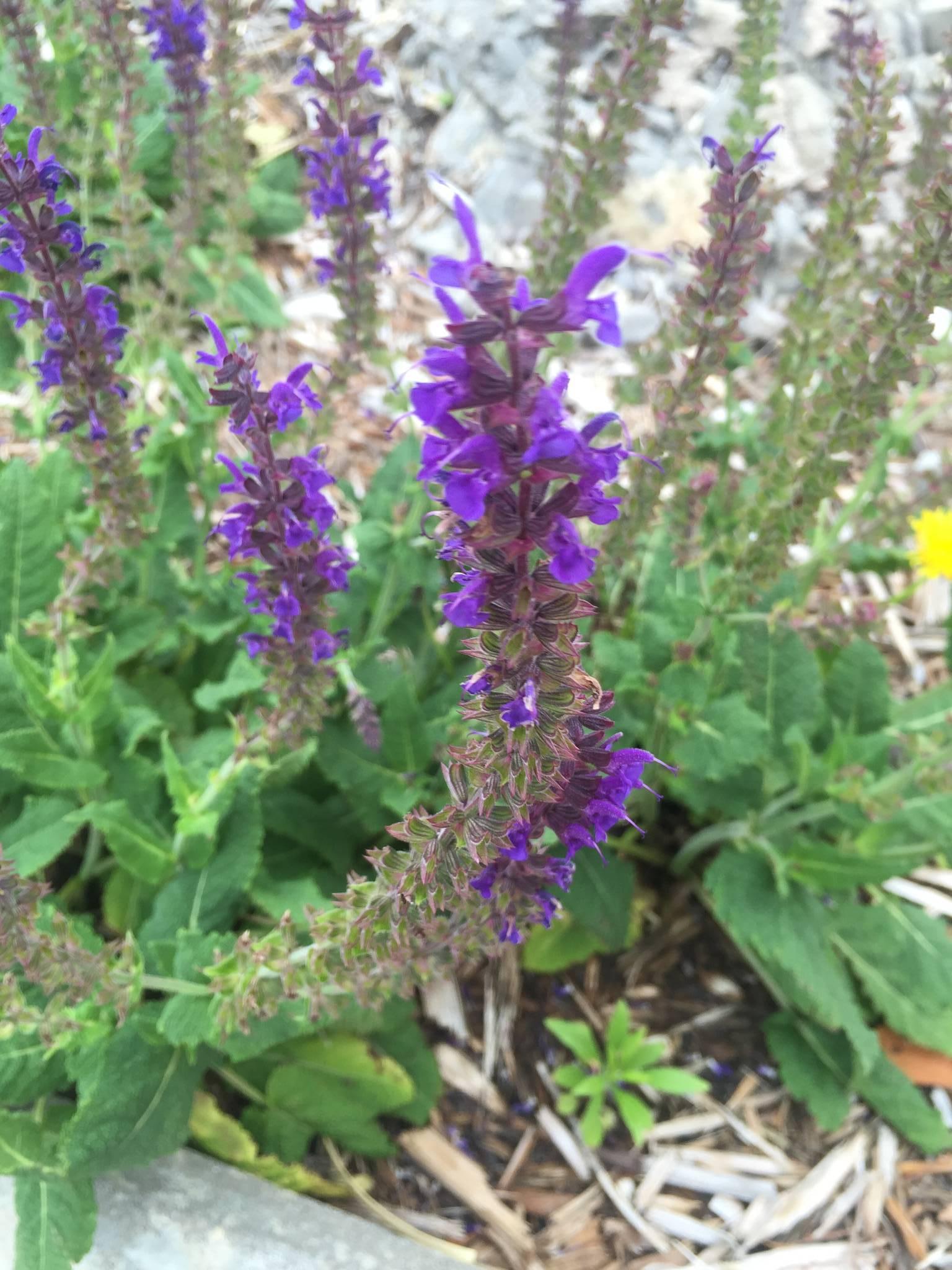 Salvia Divinorum Identification - The Ethnobotanical ...