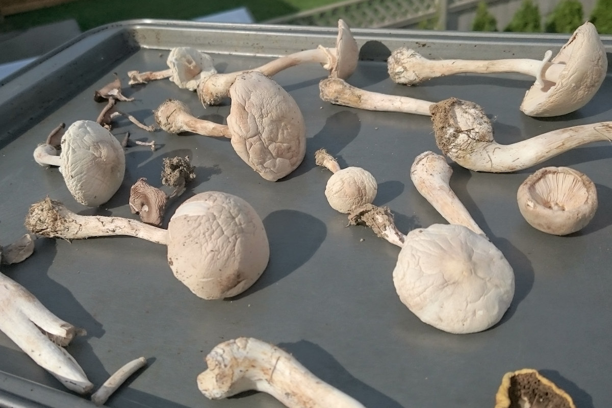 Is this Destroying Angel? - Mushroom Hunting and ...